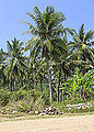 District-Kudat Sabah Coconut-trees-at-the-road-to-Kg-Loro-Kecil-01.jpg