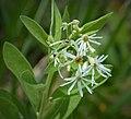 Dixie White-topped Aster (Aster tortifolius or Sericocarpus tortifolius). (39048926941).jpg