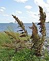 Dock (Rumex sp.) - Witless Bay, Newfoundland 2019-08-12.jpg