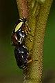 Dogwood Spittlebugs (Clastoptera proteus) - Waterloo, Ontario 02.jpg