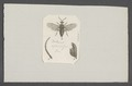 Dolerus - Print - Iconographia Zoologica - Special Collections University of Amsterdam - UBAINV0274 047 06 0106.tif