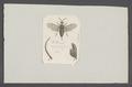 Dolerus - Print - Iconographia Zoologica - Special Collections University of Amsterdam - UBAINV0274 047 06 0106.tif