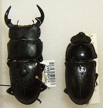 Stag beetle - Dorcus curvidens male (left) and female (right)