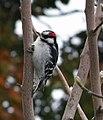 Downy Woodpecker (15086180263).jpg