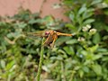Dragon fly1.jpg