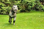 Drew - Irish Wolfhound (21137059206).jpg