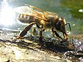 Drinking Bee2.jpg