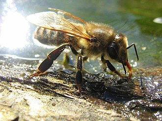 Drinking - Image: Drinking Bee 2