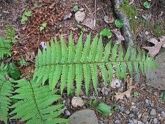 240px dryopteris pseudo filix mas 1