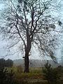 Drzewo przy drodze z Dobrzynia na Kolonię Dobrzyń.JPG