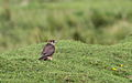 Dvergfalk - Merlin (Falco columbarius) Lista, Norway.JPG