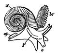 EB1911-Gastropoda 30.png