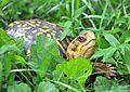 Eastern Box Turtle (Terrapene carolina carolina) - Fairfax - 02.JPG