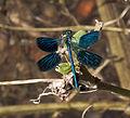 Ebony Jewelwing damselfly wings open (3827908636).jpg