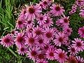 Echinacea purpurea Krakow 2.jpg