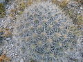 Echinocereus stramineus (5707233775).jpg