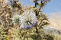 Echinops spinosissimus - Santorini - Greece - 02.jpg