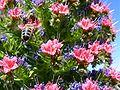 Echium wildpretii3.jpg