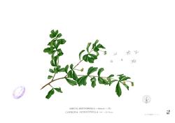Ehretia buxifolia Blanco1.72.png