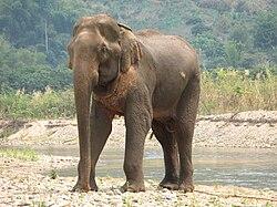 Un éléphant d'Asie. Lui et l'éléphant de Syrie vivaient sur le même continent, mais l'éléphant de Syrie était bien plus grand.