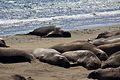 Elephant seals, Piedras Blancas 14.jpg