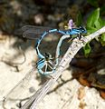 Enallagma cyathigerum.^ Common Bluets mating - Flickr - gailhampshire.jpg
