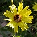 Encelia californica head 2003-04-10.jpg