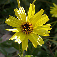 Encelia californica head 2003-04-10.jpg