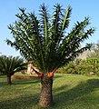Encephalartos gratus -female cones (9696404689).jpg