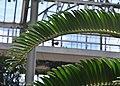 Encephalartos woodii Fronds.JPG