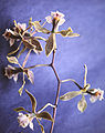 Encyclia selligera - flower.jpg