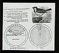 English Sparrow (22726016979).jpg