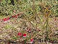 Epacris longiflora 03.jpg
