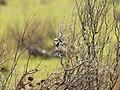 Epthianura albifrons (29701489067).jpg
