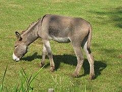 Equus asinus (Donkey), Arnhem, the Netherlands.jpg