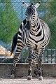 Equus quagga – Knies Kinderzoo 2011-04-24 17-18-30.jpg