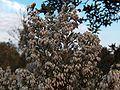 Erica arborea g2.jpg