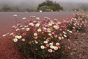 Erigeron karvinskianus, an invasive introduced...