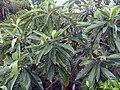 Eriobotrya japonica 0zz.jpg