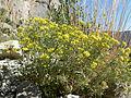 Eriogonum umbellatum var subaridum 6.jpg