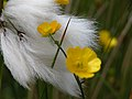 Eriophorum in Scotland-1.jpg