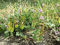 Erodium cicutarium s. str. sl2.jpg
