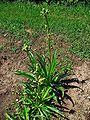 Eryngium yuccifolium 001.JPG