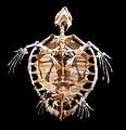 Esqueleto-tortuga-boba.01.jpg