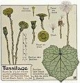 Etude de la plante - p.257 fig.308 - Tussilage.jpg