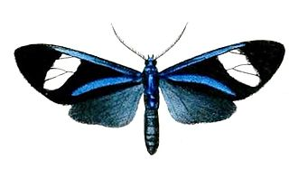 <i>Euagra</i> genus of insects