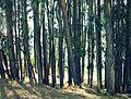 Eucaliptos Ayaviri Yauyos.jpg