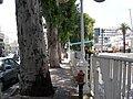 Eucalyptus Trees in Nahariya - panoramio.jpg