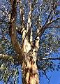 Eucalyptus bicostata - upper branch bark.jpg
