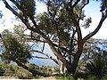 Eucalyptus gomphocephala in Kings Park.jpg
